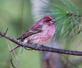Purple Finch - Haemorhous purpureus