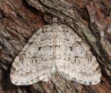 7433 – Autumnal Moth – Epirrita autumnata