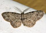 6443 – Texas Gray Moth – Glenoides texanaria