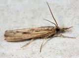 5413 - Sod Webworm - Pediasia trisecta