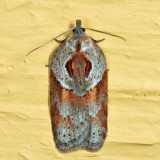 3543 – Stained-back Leafroller Moth – Acleris maculidorsana