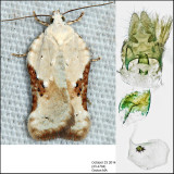 3517 – Common Acleris - Acleris subnivana (female)