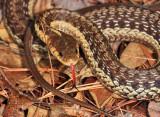Common Garter Snake - Thamnophis sirtalis