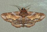 8689 - Lunate Zale Moth - Zale lunata