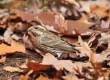 Purple Finch - Haemorhous purpureus (female)