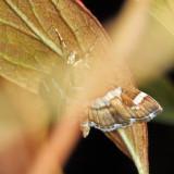 5170 - Hawaiian Beet Webworm Moth - Spoladea recurvalis