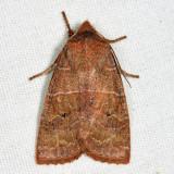 9936 - Morrison's Sallow - Eupsilia morrisoni