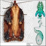 3536 -  Robinson's Acleris - Acleris robinsoniana (female)