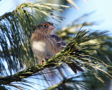 Grasshopper Sparrow - Ammodramus savannarum