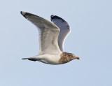 Herring Gull - Larus argentatus (non-breeding adult)