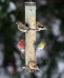 Goldfinch & House Finch