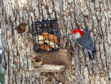 Red-bellied sharing suet with 2 Carolina Wrens