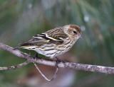 Pine Siskin - Spinus pinus