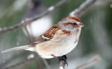 American Tree Sparrow - Spizella arborea