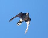 Cooper's Hawk - Accipiter cooperii