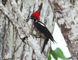 Costa Rica Woodpeckers & Woodcreepers