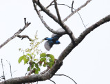 Blue Dacnis - Dacnis cayana