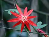 Crimson Passion Flower - Passiflora vitifolia