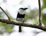White-necked Puffbird - Notharchus hyperrhynchus