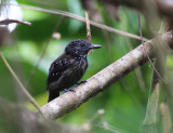Black-hooded Antshrike - Thamnophilus bridgesi