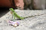 Green Iguana - Iguana iguana (juvenile)