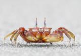 Ghost Crab - Ocypode gaudichaudii