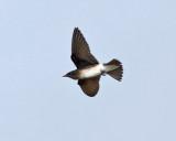 Gray-breasted Martin - Progne chalybea