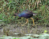 Purple Gallinule - Porphyrio martinicus (immature)