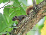 Variegated Squirrel - Sciurus variegatoides