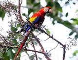 Scarlet Macaw - Ara macao
