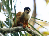 Central American squirrel monkey - Saimiri oerstedii (mother & baby)