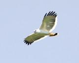 White Hawk - Pseudastur albicollis