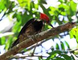 Lineated Woodpecker - Dryocopus lineatus