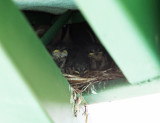 Mangrove Swallows - Tachycineta albilinea (chicks on nest)