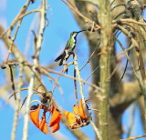 Veraguan Mango - Anthracothorax veraguensis (female)