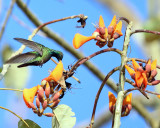 Veraguan Mango - Anthracothorax veraguensis (male)