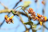 Rufous-tailed Hummingbird - Amazilia tzacatl