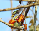 Blue-throated Goldentail - Hylocharis eliciae