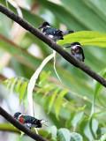 Green Kingfishers - Chloroceryle americana