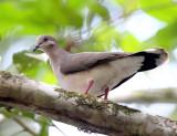White-tipped Dove - Leptotila verreauxi