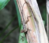 Ghost Anole - Anolis lemurinus