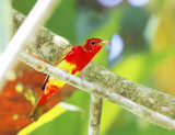 Summer Tanager - Piranga rubra (male in alternating plumage)
