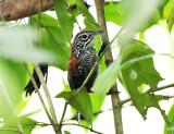 Riverside Wren - Cantorchilus semibadius