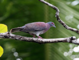 Pale-vented Pigeon - Patagioenas cayennensis