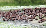 Black-bellied Whistling Ducks - Dendrocygna autumnalis