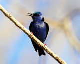 Red-legged Honeycreeper - Red-legged Honeycreeper