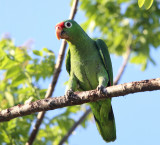 Red-lored Parrots - Amazona autumnalis