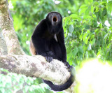 Mantled Howler Monkey - Alouatta palliata