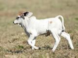 baby brahma bull