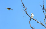 Pearl Kite - Gampsonyx swainsonii (divebombed by a Tropical Kingbird)